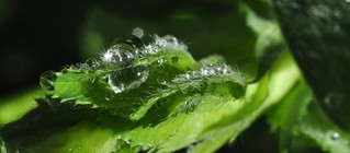 Water droplets on a raspberry leaf | by mennonot