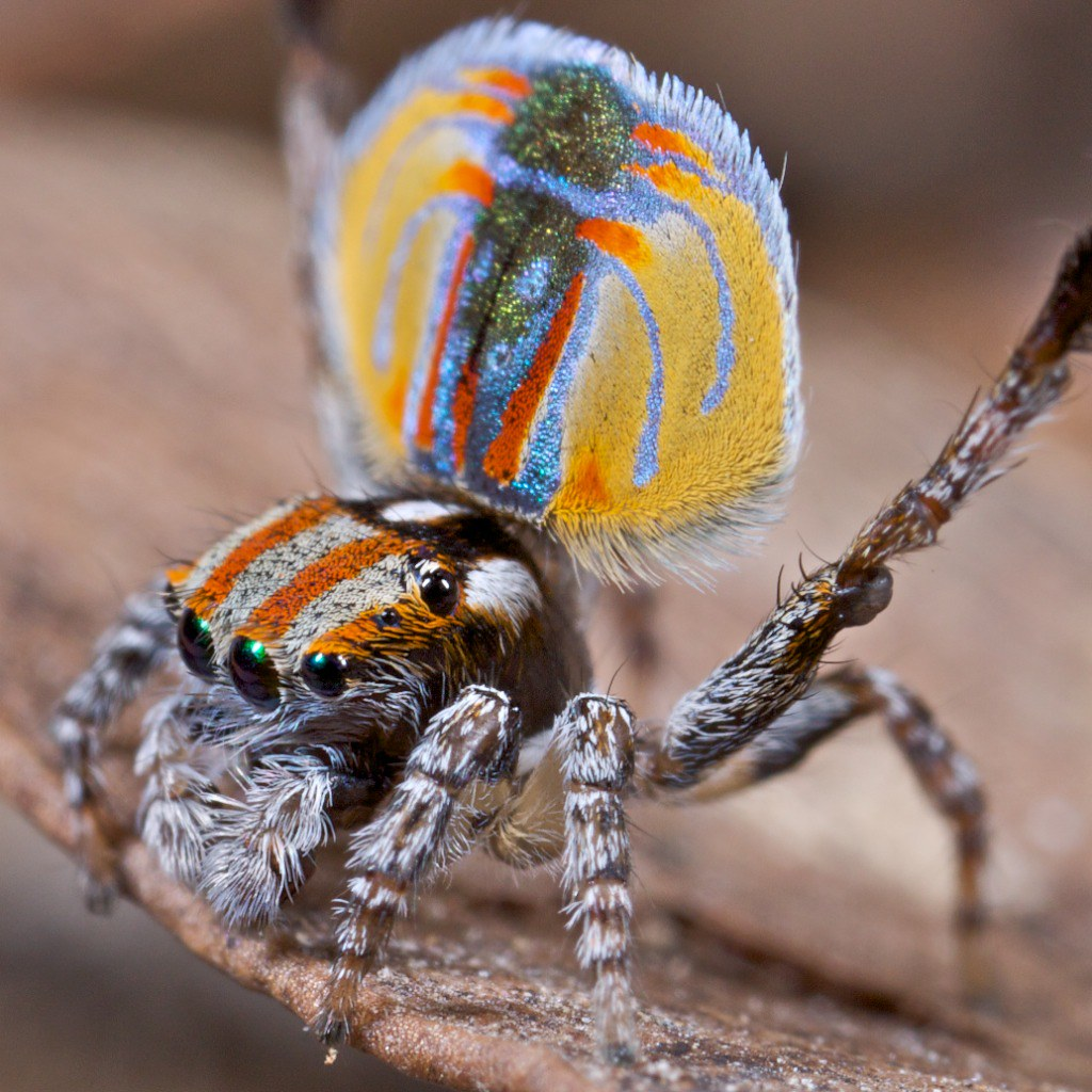 The peacock spiders belong to the spider genus of the family Salticidae, regarded as the jumping spiders.