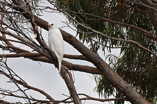 Why white feathers are a good idea in Tasmania....White Goshawk. | by zosterops