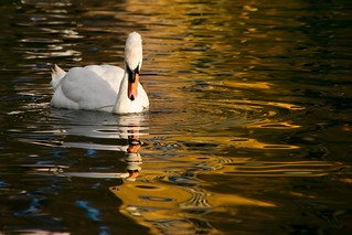 Self Reflection (Swan On Golden Canal), Harefield | by flatworldsedge