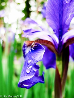 spring iris editing practice | by Lily M-C
