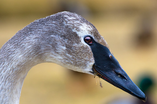 Cheshire Goose | by RXrenesis8