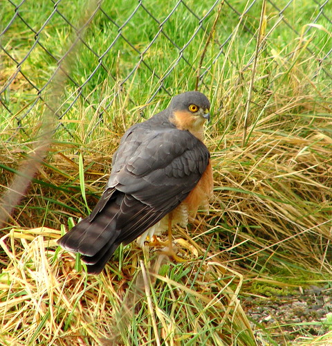 Casio EX-FH20.Optical Zoom.Male Sparrow Hawk On A Grass Tussock.February 14th 2011. | by Blue Melanistic.Twelve Million Views.