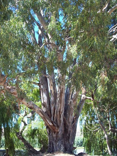 100_2316 River Gum | by River Dweller