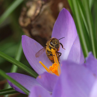 The first honey bee in my garden in 2011. | by Bienenwabe