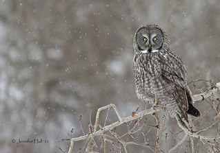Great Gray Owl in the falling snow - 6618bsg | by teagden