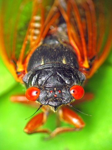 Cicada | by Roger Smith