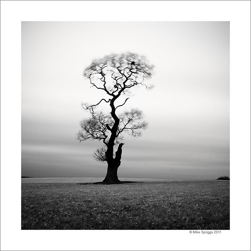 Lone Oak Tree, Study 5 | by Mike. Spriggs