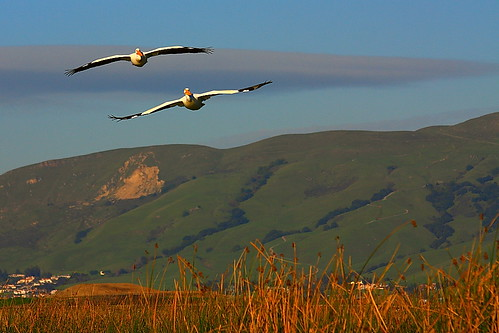 IMG_9145 American White Pelican Incoming, Don Edwards SF Bay NWR | by ThorsHammer94539