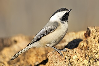 Black-capped Chickadee _DSC5987-20110316-132aa | by f6.1-f8.0