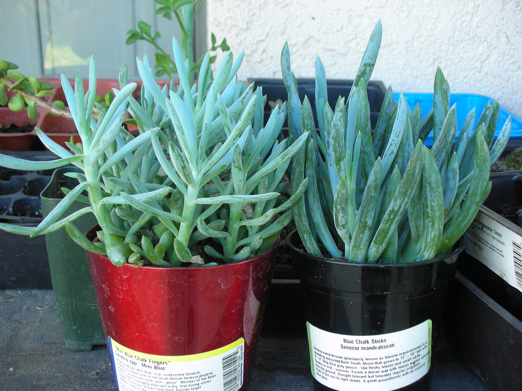 Blue chalk sticks plant -  Mini Blue And Senecio Mandraliscae Blue Chalk Sticks