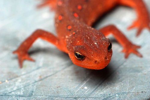 Eastern Newt - Eft stage | by StoneHorse Studios