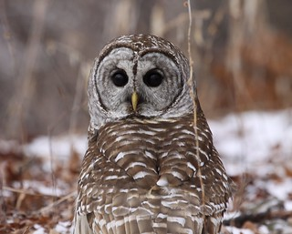 IMG_2462 Barred Owl | by Nature-Photo Guy