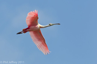 Roseate Spoonbill | by phil.jeffrey