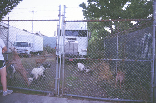 goats and trucks, 19th and pershing, october | by cafemama
