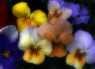 Pansies | by Zsaj