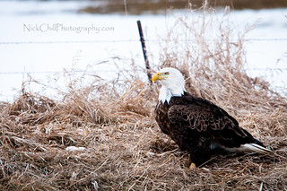 Bald Eagle Beauty | by Nick Chill Photography