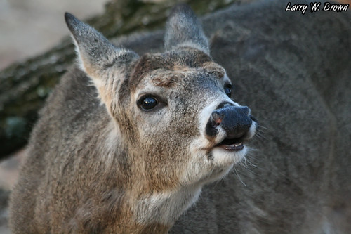 Antlerless Lip Curl | by Larry W Brown