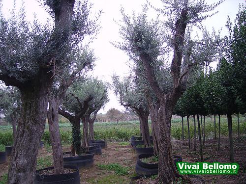 olivi vivai bellomo produzione e vendita all 39 ingrosso