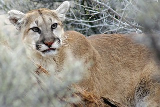 cougar | by daisy023