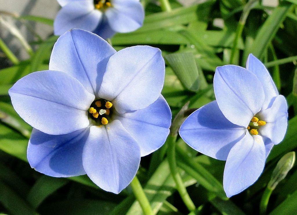 Argentinian Blue Ipheion Uniflorum Spring Starflower Ro Flickr