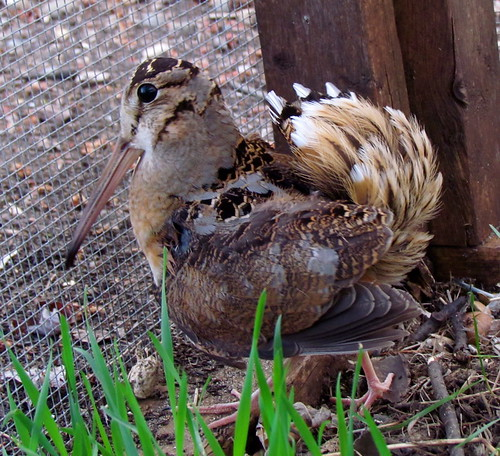 American Woodcock Rehabber | by audreyjm529
