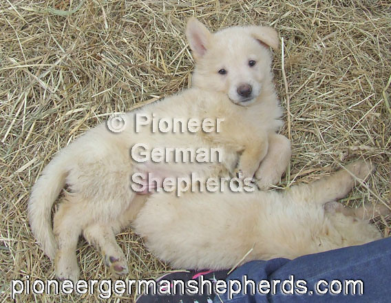 White Shepherd Puppies White Shepherd Puppies Please Che Flickr