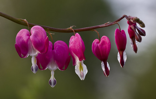Dicentra | by Usually Melancholy