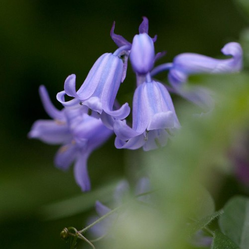 Bluebells in hiding | by Steve-h