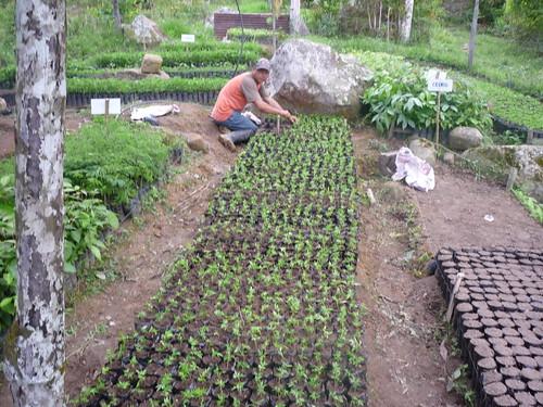 Siembra de plantulas vivero mata de cacao 3 rna pauxi pa for Matas de viveros