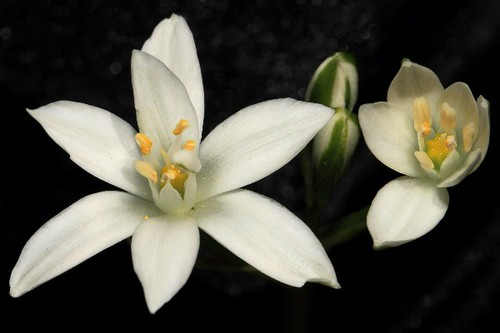 Star Of Bethlehem | by Snaphappy#1