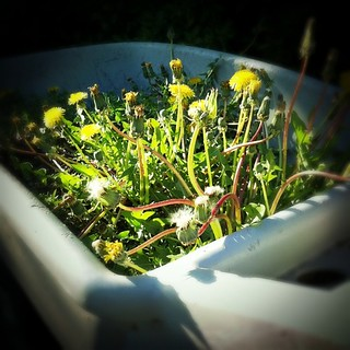 A wheelbarrow full of dandy lions (or perhaps dandelions) made for a good excuse to test out radial tilt shift option added to Instagram 1.6.5 | by Louis Trapani