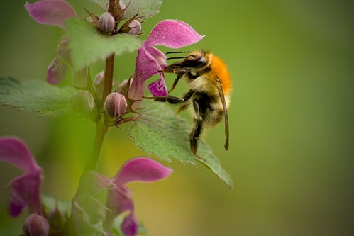 bumble-bee | by MICHAL JIRAK PHOTOGRAPHY