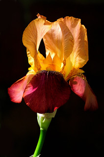Iris | by Chrisar