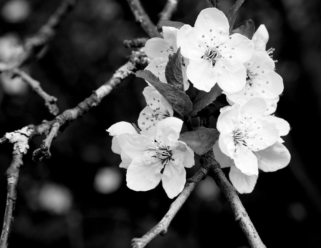 Black White Cherry Blossoms By Kiki5253