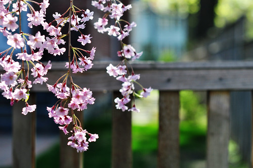 Fence under cherry blossoms | by justmakeit
