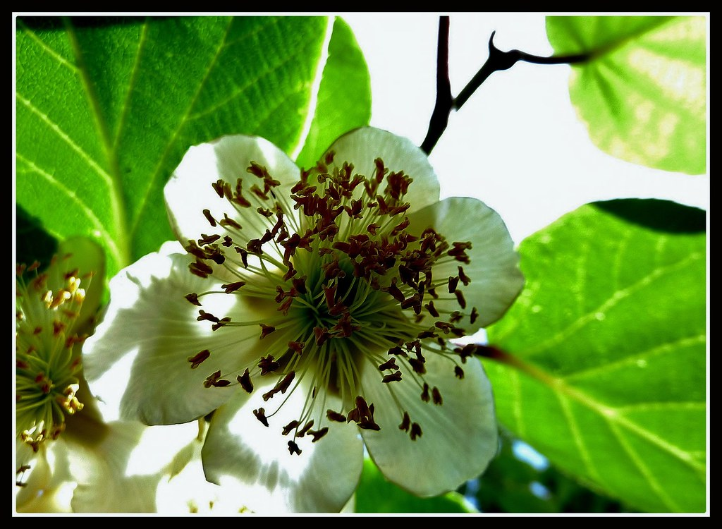 Fleur De Kiwi Dominique Dufour Flickr
