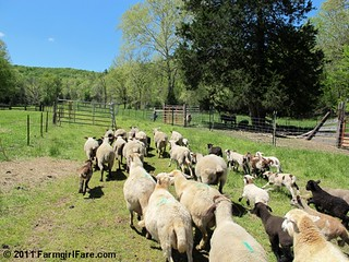 Sheep Freedom Day 1 | by Farmgirl Susan