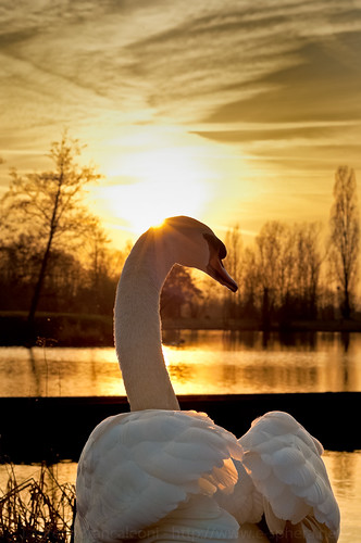 Swan Sunset | by LaurentBrancaleoni