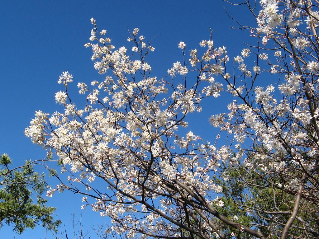 Splash of spring color | Tree in bloom at Hanging Rock State… | Flickr
