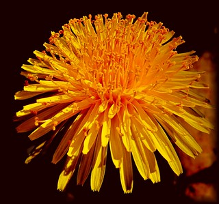 lighting dandelion | by sabrina. G very busy!