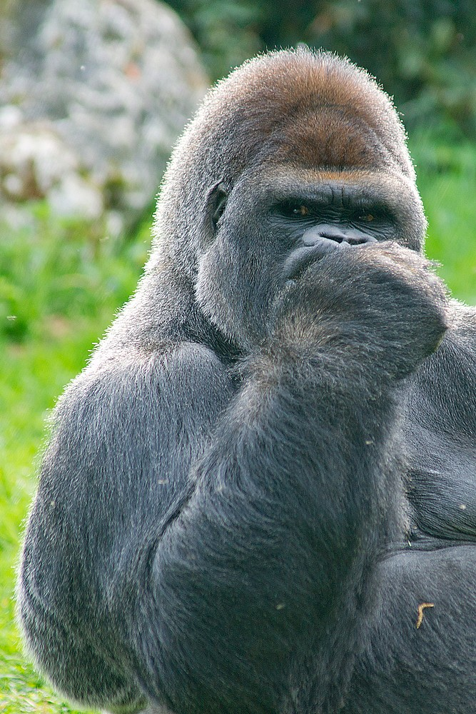 Top Gorille dos argenté, Gorillas | Asato Zoo de Beauval (41 Fra… | Flickr VZ28