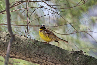 金鵐 Yellow-breasted Bunting | by Hiyashi Haka
