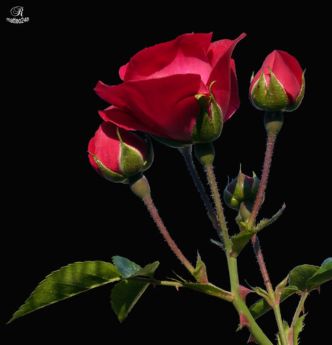 rose rosse per te ... | by matteo248