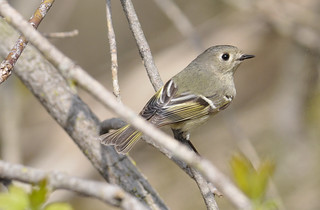 Ruby-crowned Kinglet | by Adore707