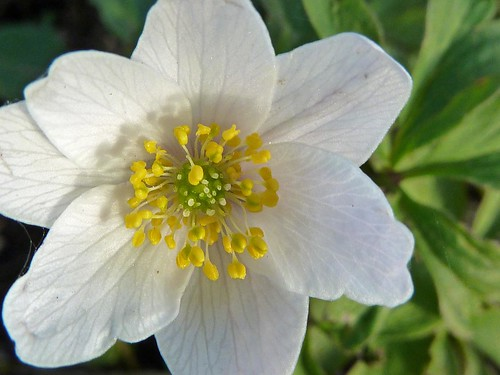 Wood anemone | by Ostseeleuchte