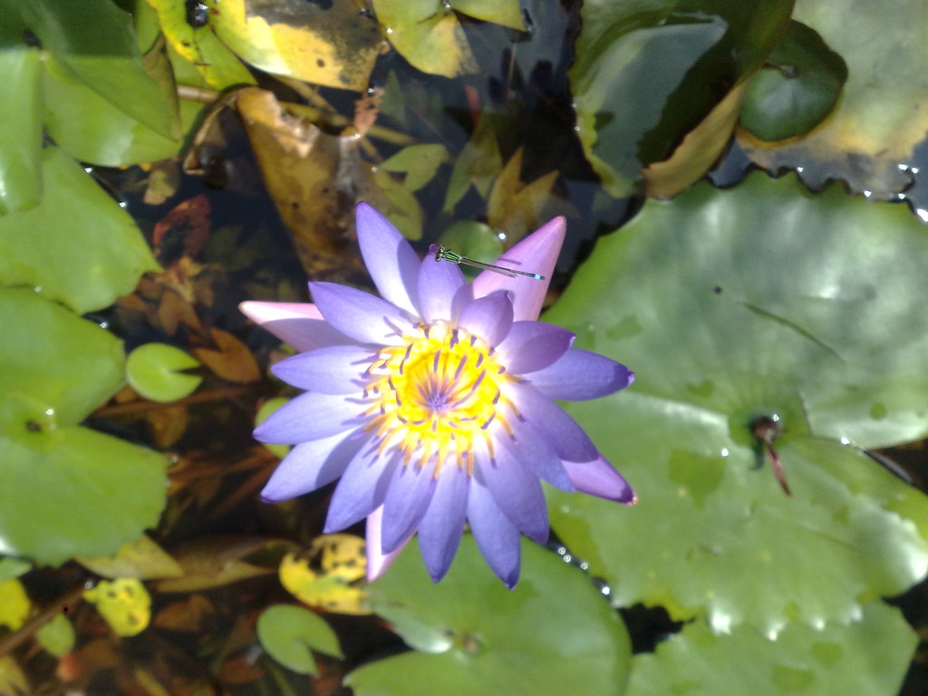 Top Nymphaea Capensis Stock Photos Pictures and Images