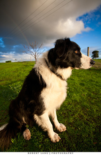 Border Collie | by Robert Lang Photography