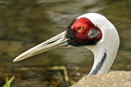 Red crowned crane.  (part of set) | by Scooby ...