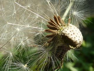 Dandelion Seeds 1 | by Super Tinks